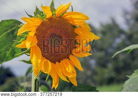 Sunflower On A Natural Background. Blooming Sunflower, Sunflower Oil Improves Skin Health And Promot