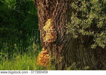 Sulphur Shelf Fungus On The Oak Tree