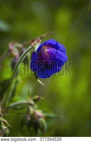 Beautiful Purple Wild Forest Flower. Wood Cranesbill, Woodland Geranium, Geranium Sylvaticum. Forest