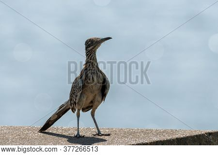 Closeup Of A Greater Roadrunner Standing Near The Edge Of A Concrete Picnic Table In A Park Campsite