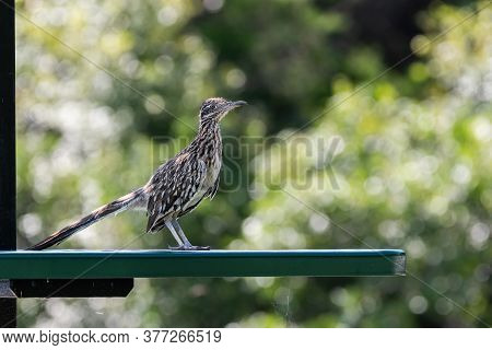 Closeup Of A Greater Roadrunner Standing On Top Of A Green Metal Picnic Table And Bench In A Park Ca