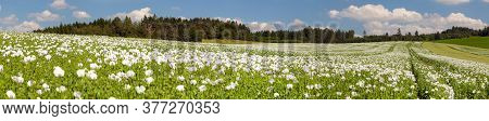 Flowering Opium Poppy Field In Latin Papaver Somniferum, Poppy Field, Panoramic View, White Colored