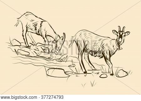 Illustration. Two Young Goats Graze In A Meadow. Vector Sketch. Black And White Drawing By Hand. Eac