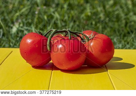 Daylight. The Bright Sun Feeds Red Tomato On The Branches. On A Yellow Background In Retro Style On