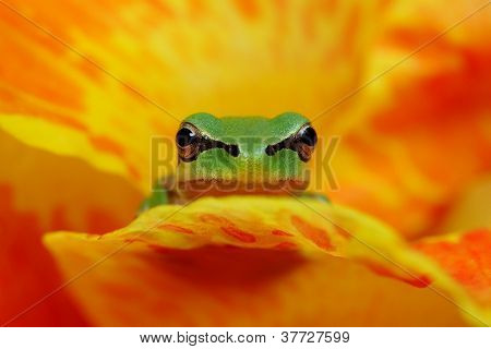 Hyla frog on yelow and orange flower contrast poster