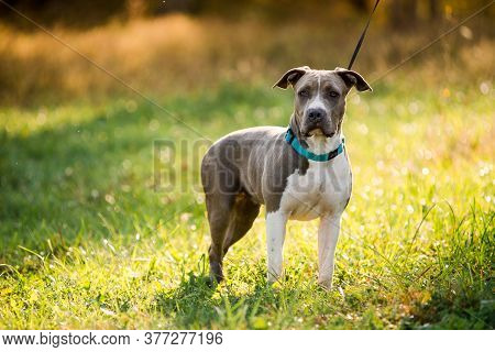 Puppy Staffordshire Terrier Walks In The Park In Autumn
