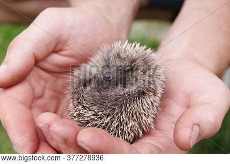 Hedgehog In The Man Palms. A Little Cute Hedgehog Baby In His Hand Asleep. Human Care And Assistance