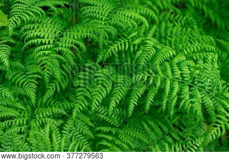 Bright Green Background Of Fern Leaves With Uniform Lighting. Natural Background
