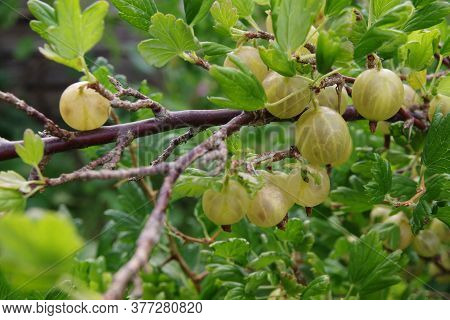Ripe Gooseberries. Bunch Of Gooseberries On A Branch. Fresh Green Gooseberries. Gooseberries In The