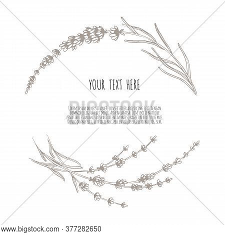 Beautiful Vector Hand Drawn Lavender Tea Herb Illustration. Sketch Element For Labels, Packaging And
