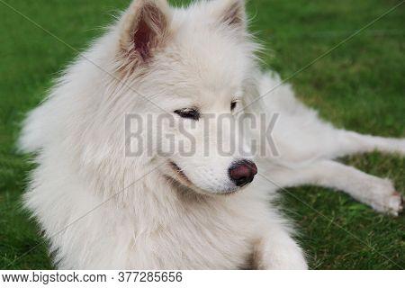 Samoyed - Beautiful Breed Siberian White Dog. White Samoyed Dog In The Garden On The Green Grass.