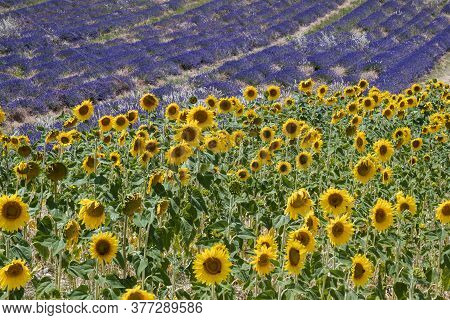 Valensole, France - July 5, 2020: Beautiful Flowering Lavender And Sunflower Fields In French Proven