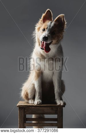 Portrait Of Funny Puppy Border Collie Dog. He Obediently Sits On A Chair.the Background Is Gray.