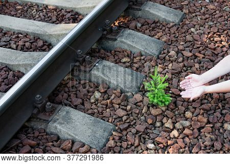 A Tiny Fir Tree Sprouted In The Rubble Of The Railway Embankment. It Will Be Cut Down Soon. Hands Re