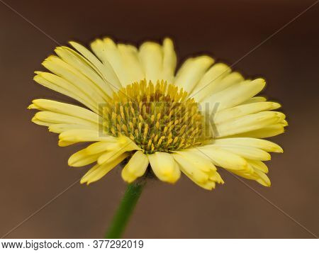 Closeup Of A Beautiful Yellow Fleabane Flower, Erigeron Aureus Canary Bird