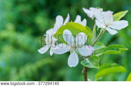 Apple Blossom Malus Domestica Apple Blossom Close Up View In Summer