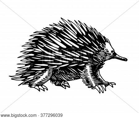 Wild Mammalian Marsupial Ovipositor Australian Animal, Echidna With Spikes, For Logo Or Emblem, Vect