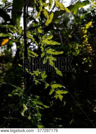 Lygodium Japonicum Is A Species Of Fern That Is Known By The Common Names Vine-like Fern And Japanes