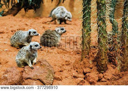 Suricate, Group Of Meerkat In Desert National Park