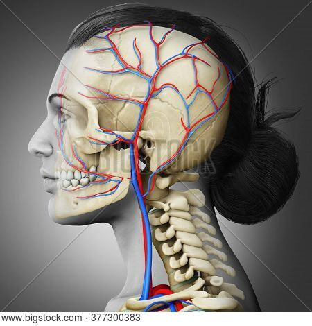 3d Rendered Medically Accurate Illustration Of The Female Head Circulatory And Skeleton System