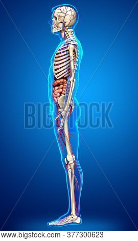 3d Rendered Medically Accurate Illustration Of Male Internal Organs, Skeleton And Circulatory System