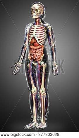 3d Rendered Medically Accurate Illustration Of Female Internal Organs, Skeleton And Circulatory Syst