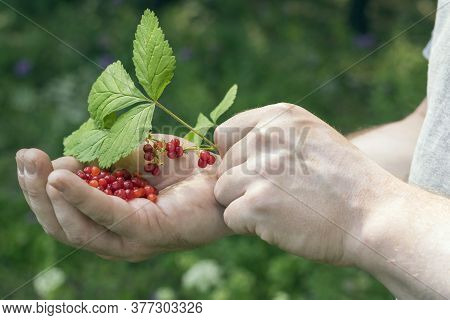 Berries On The Palm Of A Man. Berry Harvest In The Forest. Berries On A Twig.