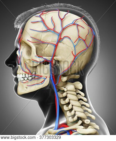 3d Rendered Medically Accurate Illustration Of The Male Head Circulatory And Skeleton System