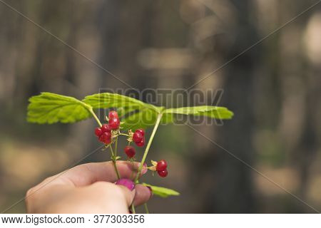 A Sprig Of Red Stone Berry With Green Leaves In A Woman\'s Hand.