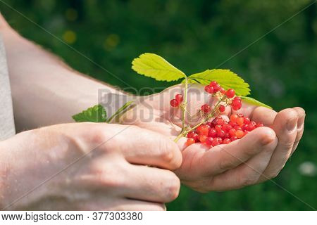 A Handful Of Red Berries In The Man's Hand And A Twig With Leaves And Berries.