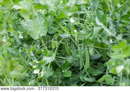 Peas Growing In A Garden, Farm.green Pea Pods Ready To Harvest.selective Focus On Fresh Bright Green