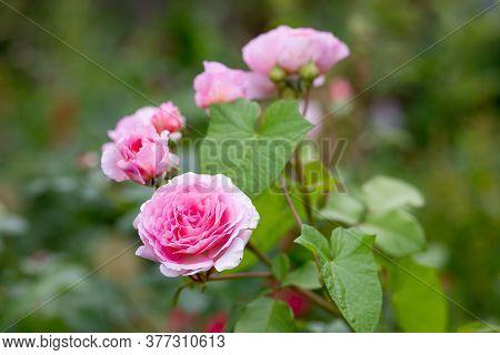Bush Of Beautiful Pink Roses In Summer Garden, Park.fresh Delicate Beautiful Blooming Pink Rose Bush