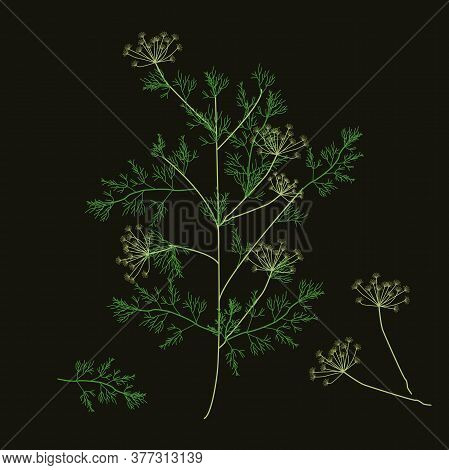 Dill. Vector Illustration. Dill Branch, Inflorescence And Leaves