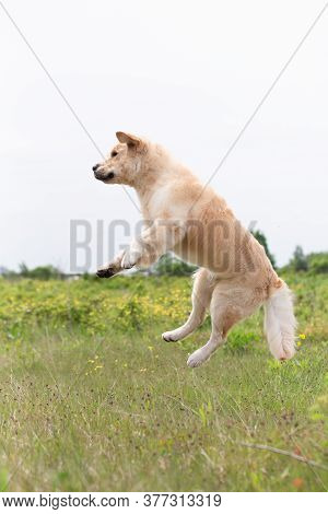 Golden Retriever Retriever Jumping In The Field In Summer