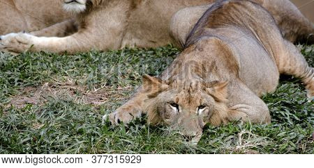 Colombo : December 10, 2017: At The Zoological Gardens, Sri Lanka. A Lioness Relaxes On Grass, Close