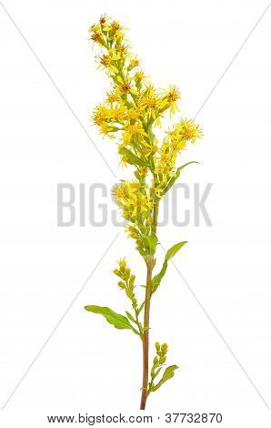 Goldenrod (solidago Virgaurea) Flower