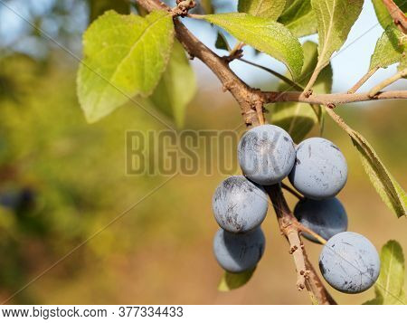 Branch Of Blackthorn Or Sloe Berries With Ripe Fruits, Prunus Spinosa