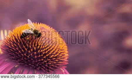 Single European Honey Bee (apis Mellifera) Collecting Pollen From The Pink Flower. Closeup Macro Sho