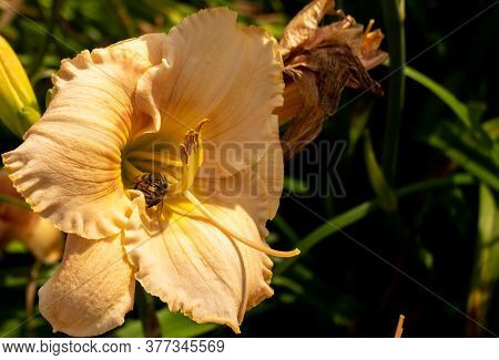 European Honey Bee (apis Mellifera) Confronting Each Other Over Pollen From Blooming Lilium Flower.