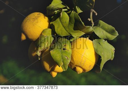 Sunlit Yellow Fresh Lemon Fruits Growing On A Tree, Spain