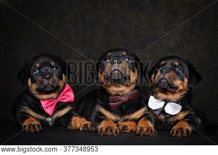 Dogs, Puppies On A Black Background In A Photo Studio.close Up.three Rottweiler Puppies