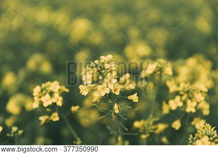 Close Up Of Blossom Of Canola Yellow Flowers. Plant Rapeseed, Oilseed Field Meadow Grass.