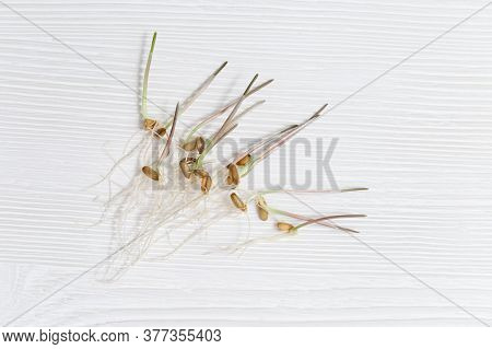 Wheat Sprouts As Healthy And Vegetarian Food. Germination Of Wheat Seeds. Home-grown Seeds. Food Bac