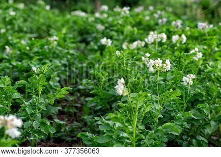 Blooming Potatoes. White Blooming Potato Flower On A Farm, Field. Organic Farming Concept.