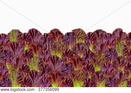 Creative Layout Of Maroon Lettuce Leaves With A Note Card. Nature Concept.