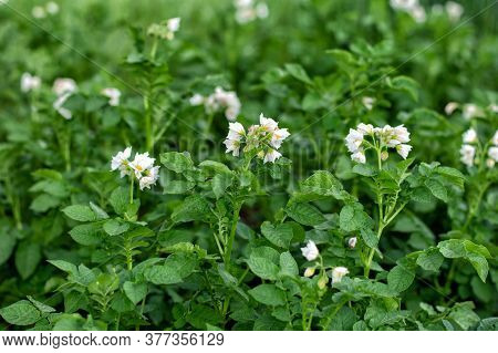 Young Flowering Potato Bushes On The Farm, Young Potatoes, Flowering, Potato Ripening. Organic Farmi