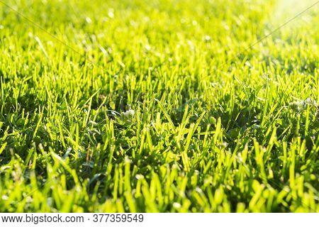Macro Shot View Of Green Fresh Summer Lawn. Close Up View Beautiful Fresh Grass. Green Grass Pattern