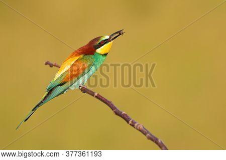 Multicoloured European Bee-eater Eating On Branch In Summer.