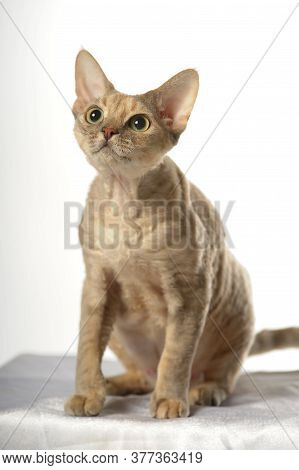 Devon Rex  Cat On White Background