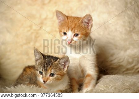 Two Kittens On A Shaggy Rug Close Up